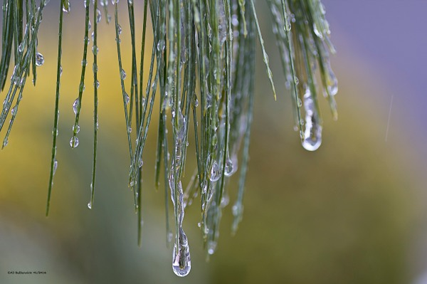 Frozen Drops on Pine Needles