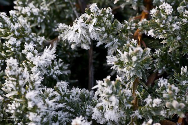 Frost on Juniper